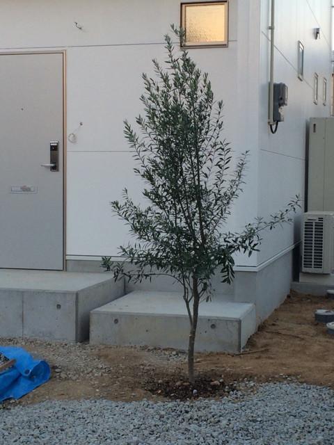 オリーブが新築住宅に映えます